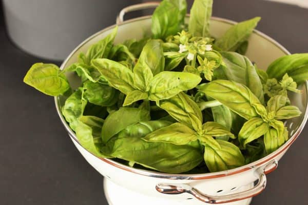 a white strainer full of fresh basil on a black surface