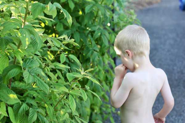 A child picking raspberries