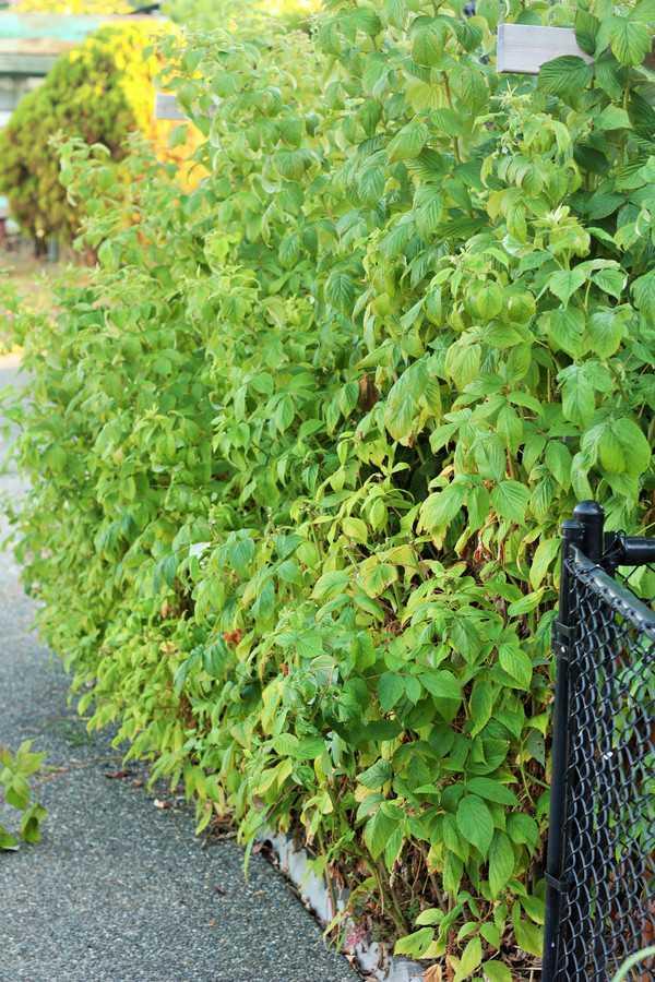 raspberry canes in a home garden