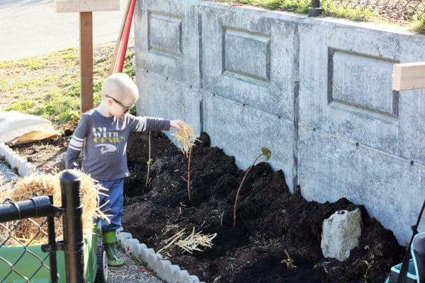 a child adding straw to a raspberry patch in a home garden
