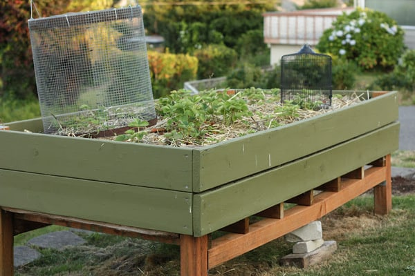 Planting Strawberries in Raised Beds images