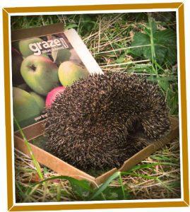 holly-the-hedgehog