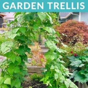 A garden trellis covered in bean vines