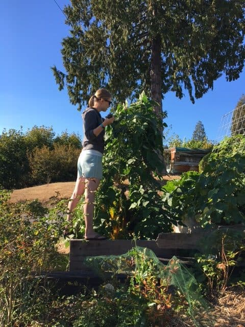 woman standing in a planter box with green beans | sustainablecooks.com