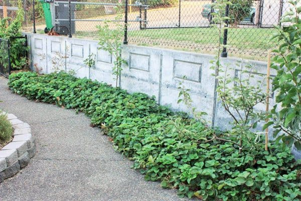 thinning and replanting strawberry plants