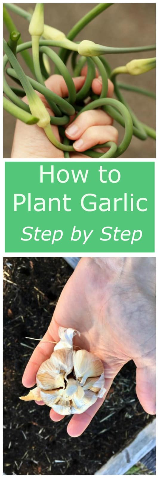 How to Plant Garlic - learn to plant the easiest garden crop ever! Growing garlic is so simple, even the newest gardener can master it.