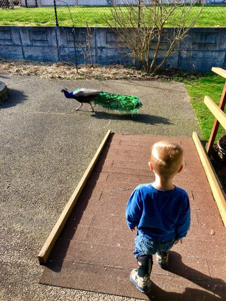 little boy and peacock
