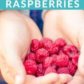 Two hands holding raspberries