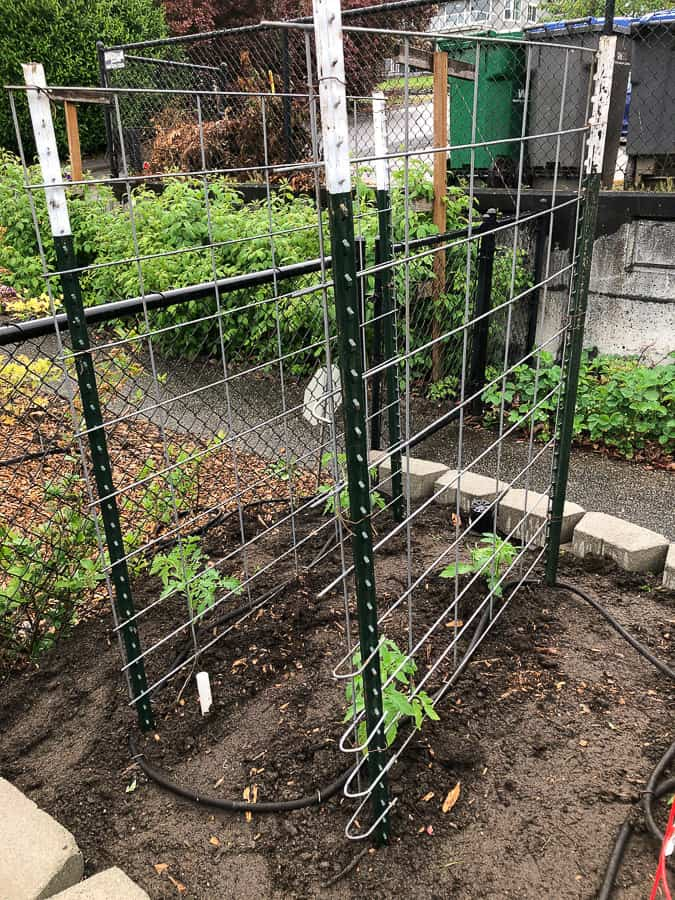 tomato cages in a planting area
