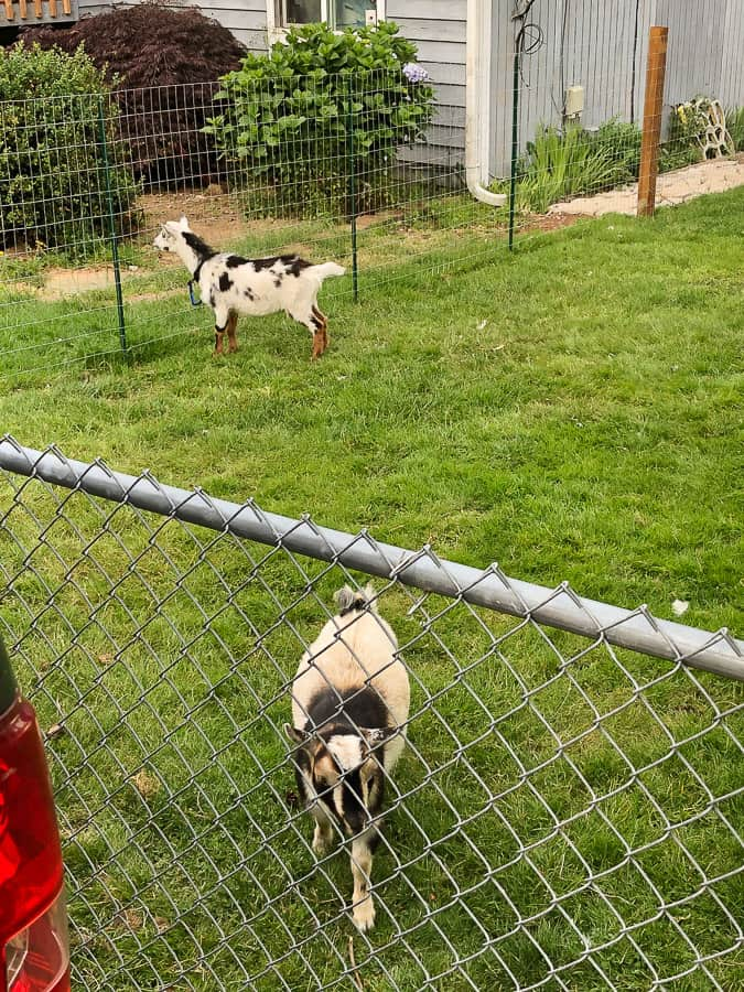 2 goats in grass