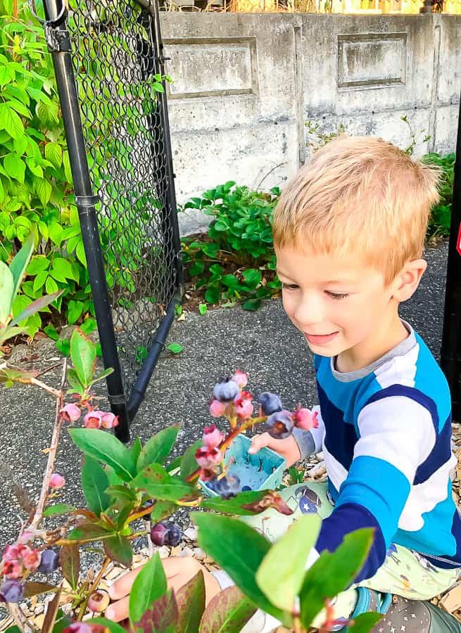 a little boy picking blueberries
