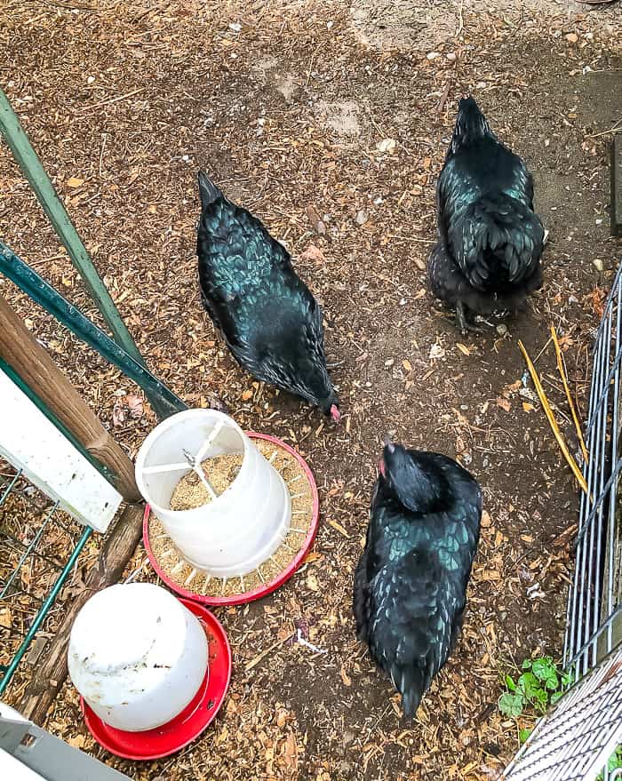 3 chickens with black feathers