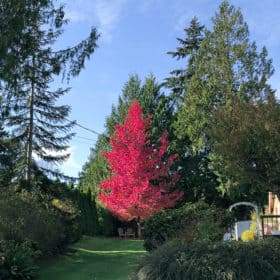 a bright red tree