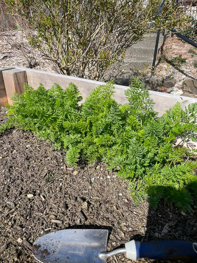 small carrot tops in a raised bed