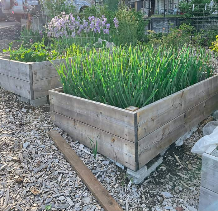 2 raised garden beds with garlic and lettuce growing in them