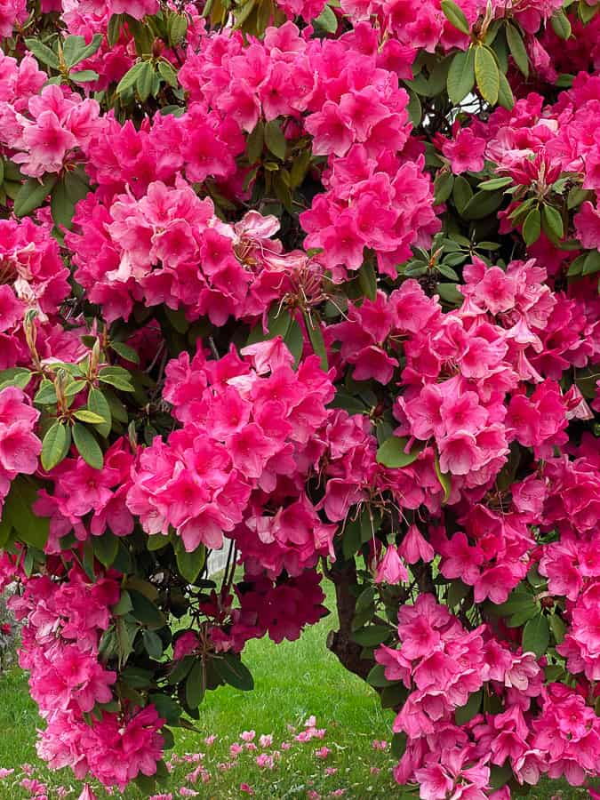 pink blossoms on a rhodendrum bush