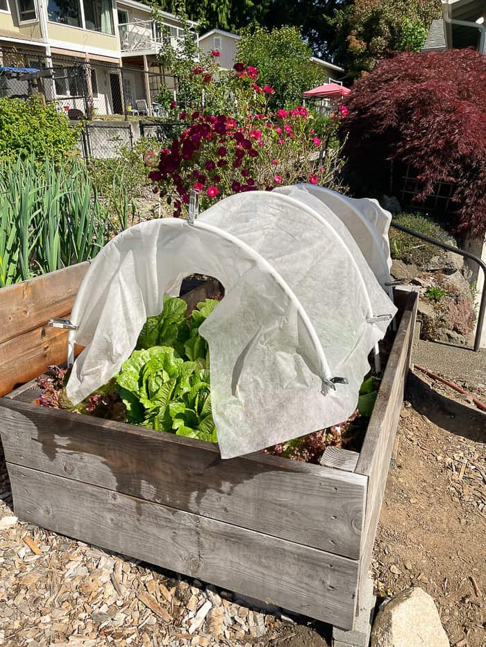 a raised bed filled with salad and covered with white cloth