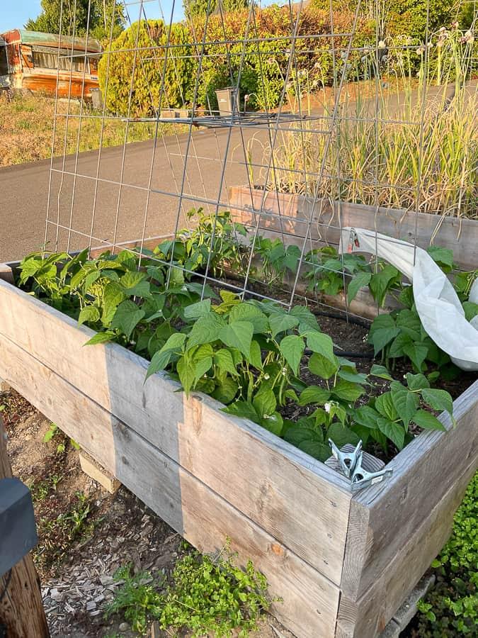 a garden box with green beans