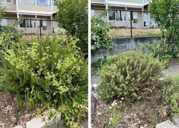 before and after photos of trimming bushes in the garden