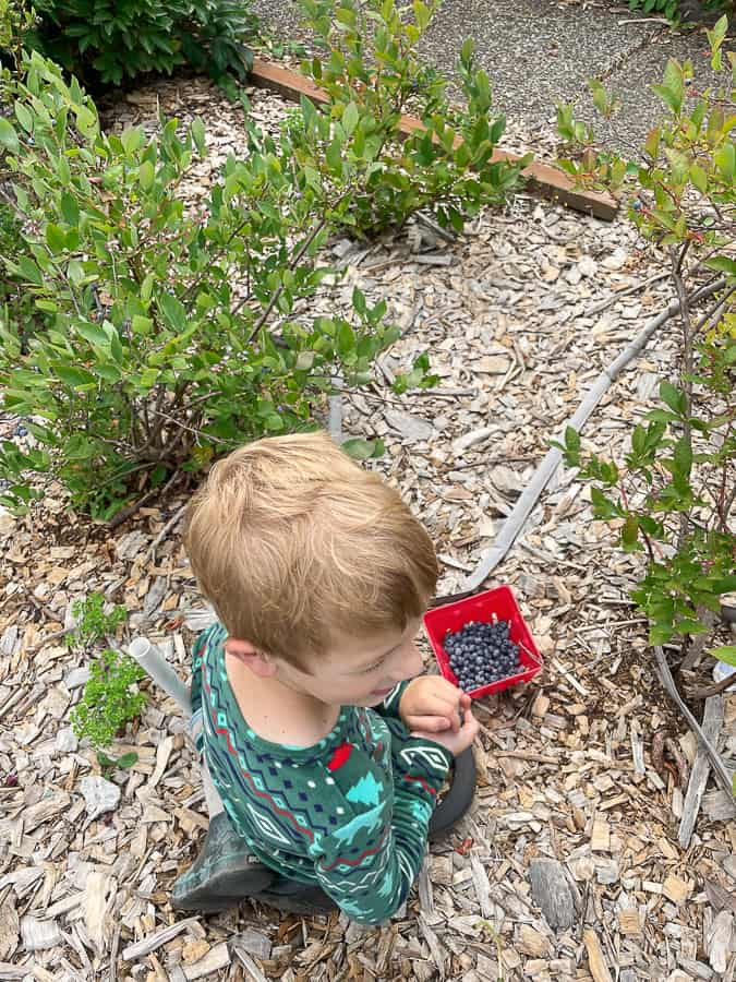 a little boy picking blueberries in pajamas