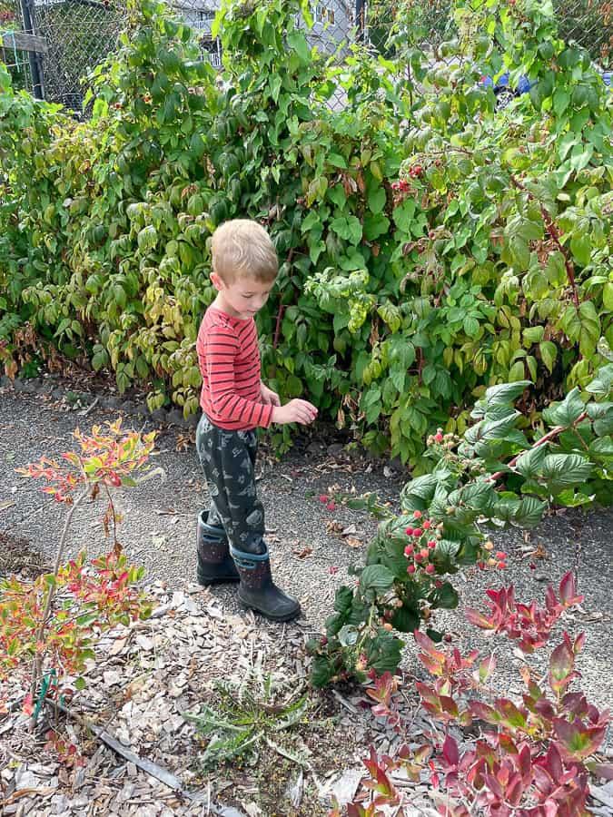 a little boy picking raspberries in boots