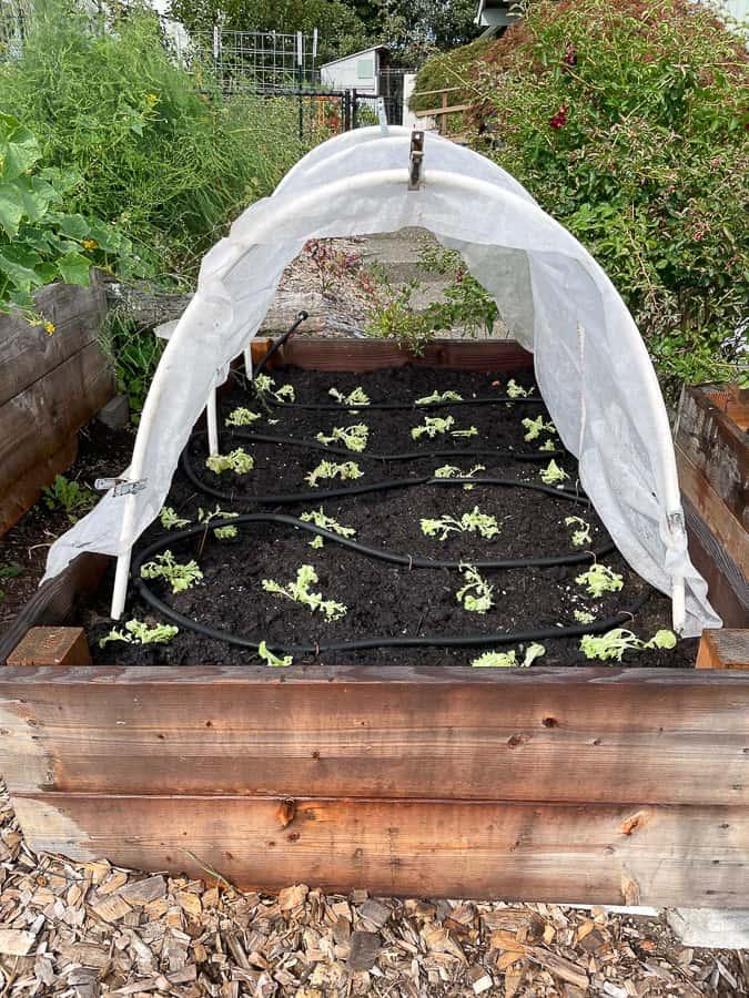lettuce in a raised bed garden