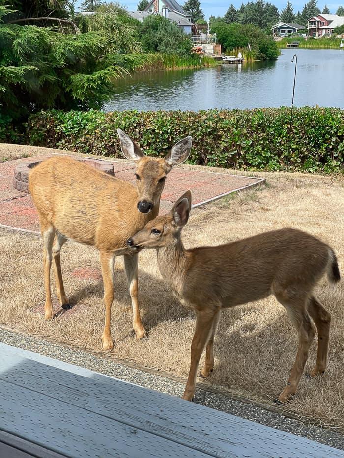 2 deer on grass